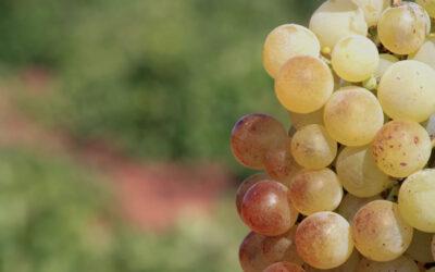 Uvas autóctonas de La Mancha